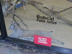 Bobcat at the zoo