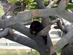 A sun bear in a tree